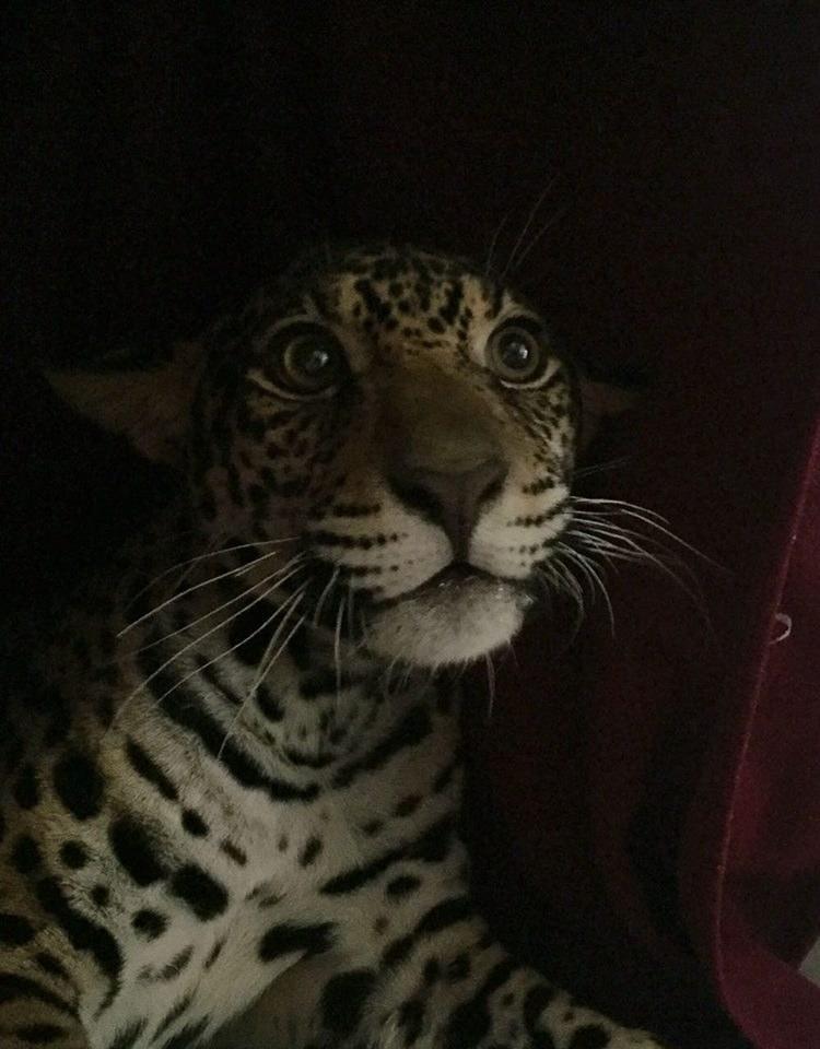 Baby jaguar in Ecuador