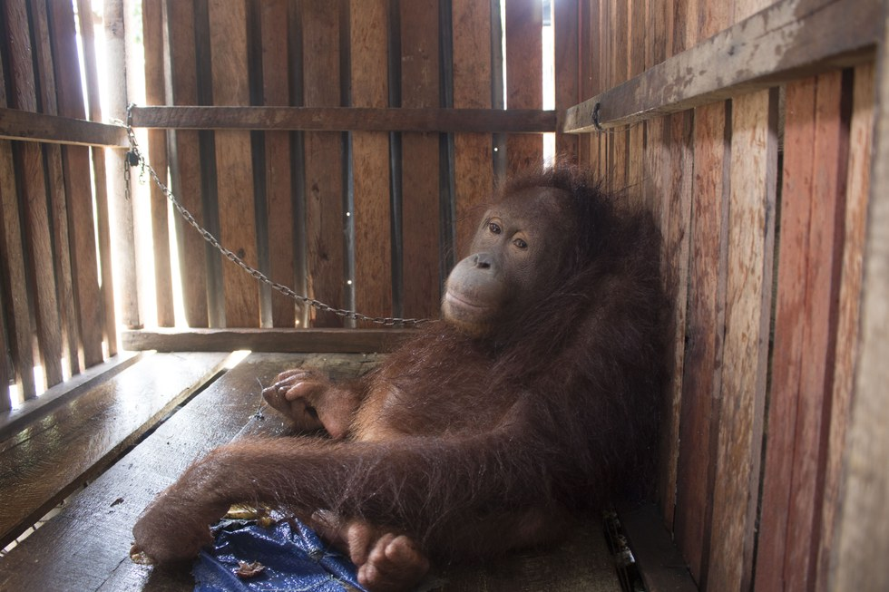 Bornean orangutan locked inside crate in Indonesia