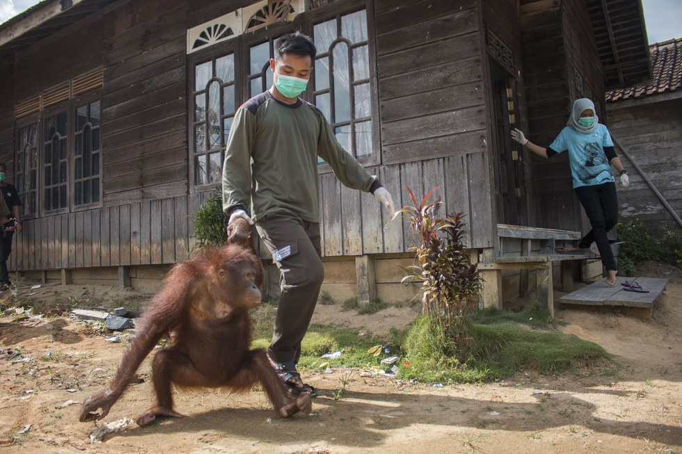 Rescued Bornean orangutan getting help