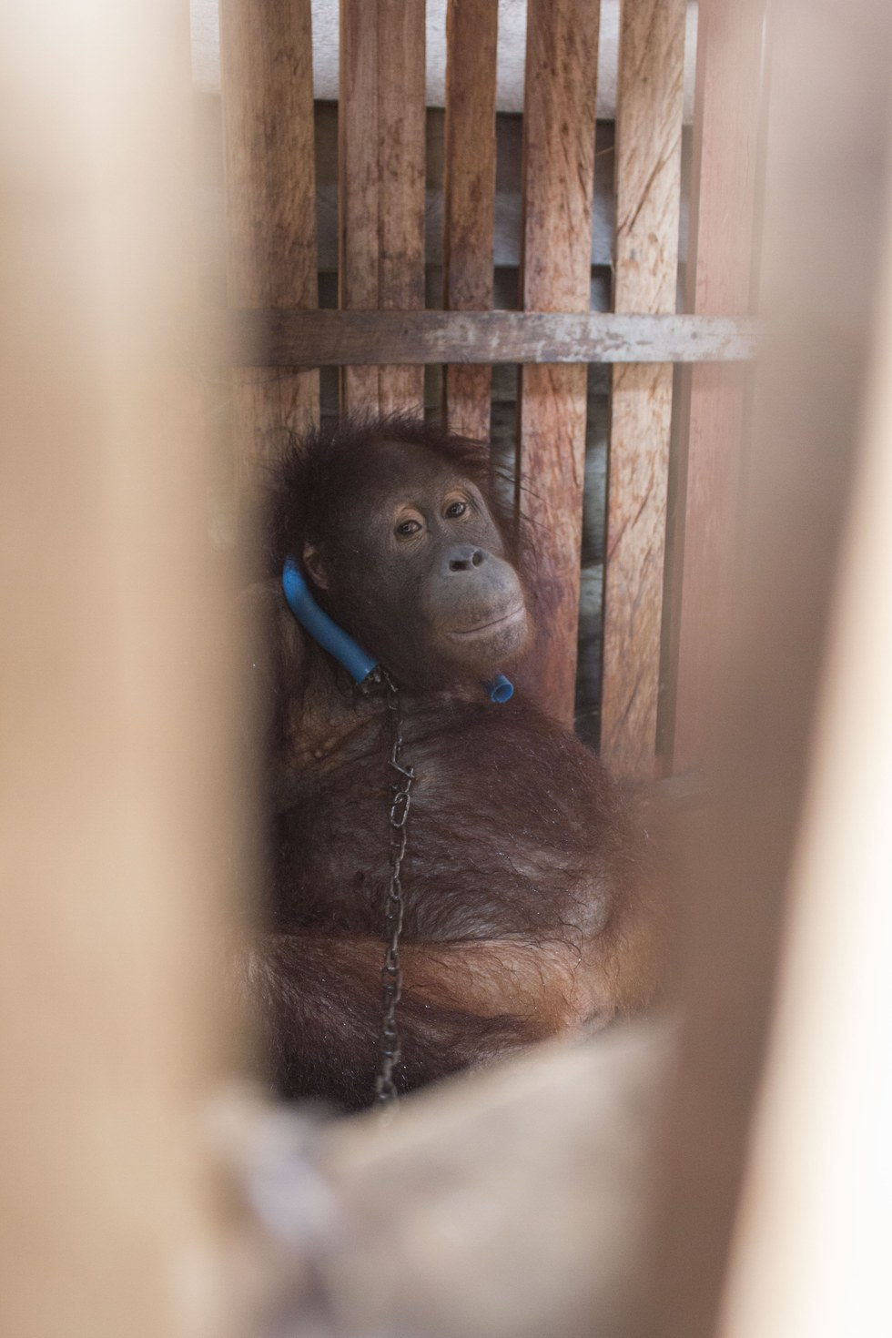 Bornean orangutan locked up inside a crate in Indonesia