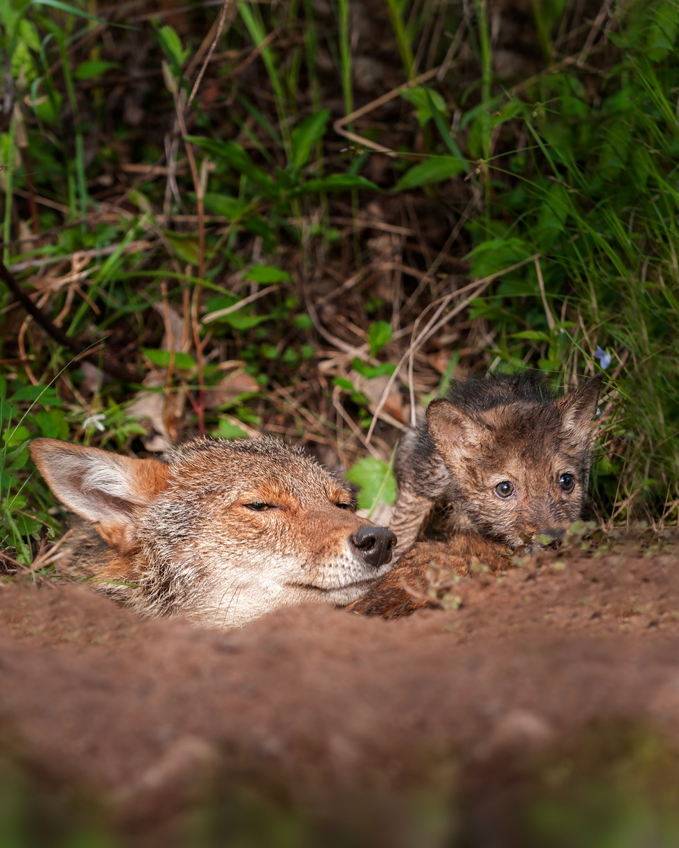 Coyote and pup peeking out of den