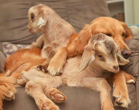 dog loves baby goats