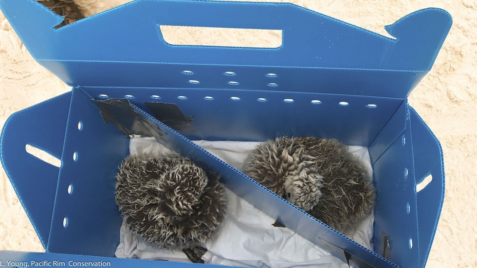 Two black-footed albatross chicks in box