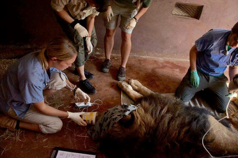 Chloe Breakwell with rescued lion Simba