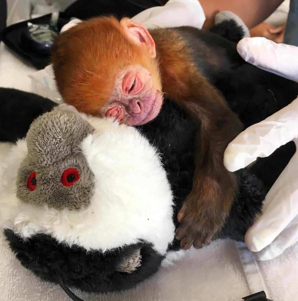 monkey patient of Chloe Breakwell