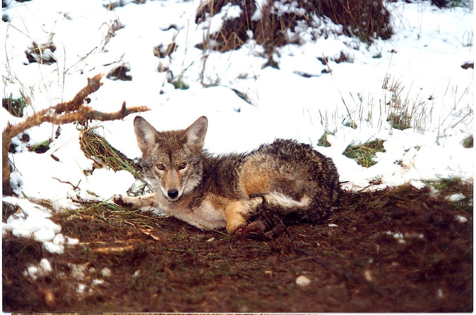 Oregon coyote caught in a Wildlife Services trap