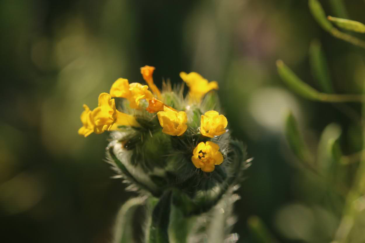 Common Fiddleneck (Amsinckia menziesii)