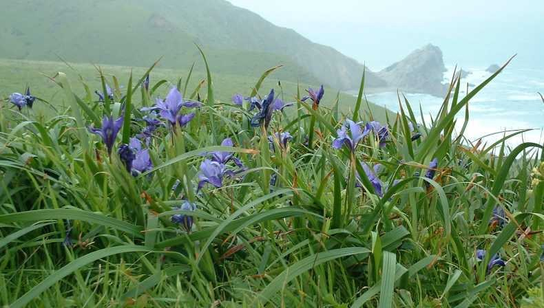 Dougla's Iris (Iris douglasiana)