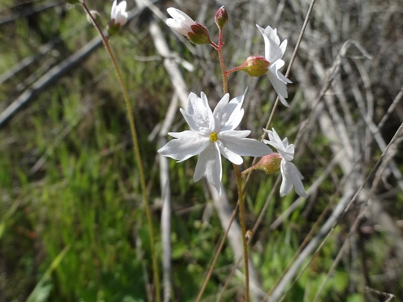 Woodland Star (Lithophragma sp.)