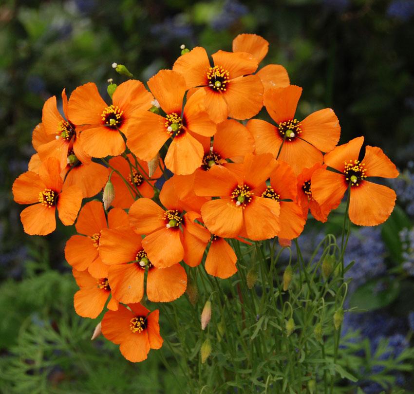 Wind Poppy (Stylomecon heterophylla)