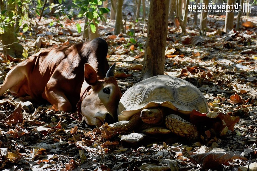 Rescued cow and tortoise in Thailand share sweet bond