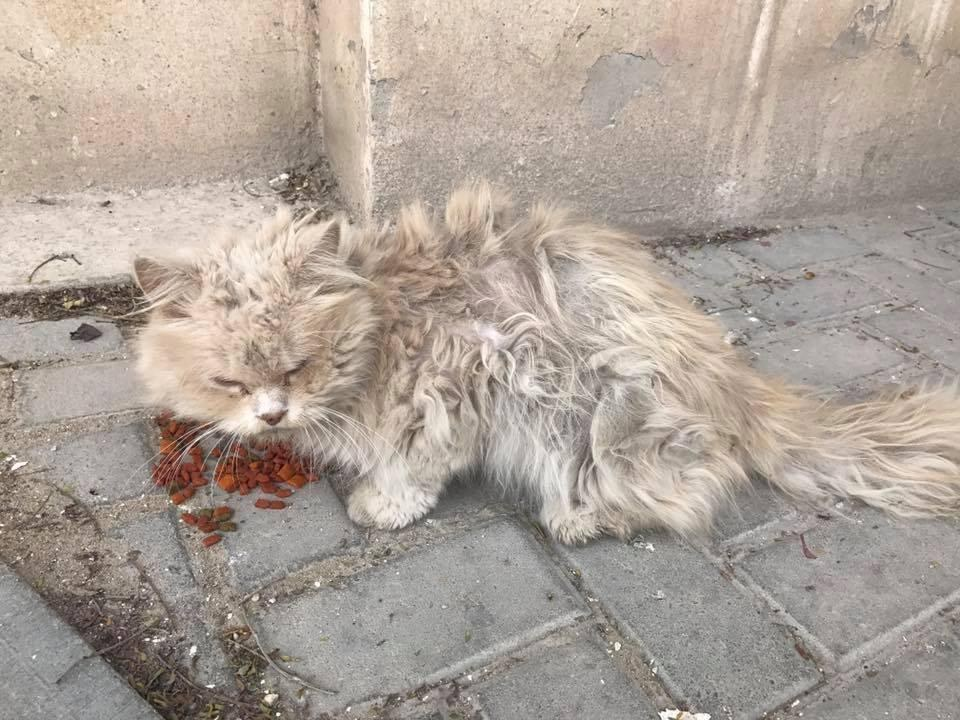Matted Hungry Stray Who Was Bullied By Other Cats Finds