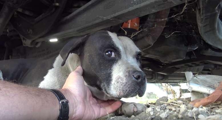 terrified pit bull rescued