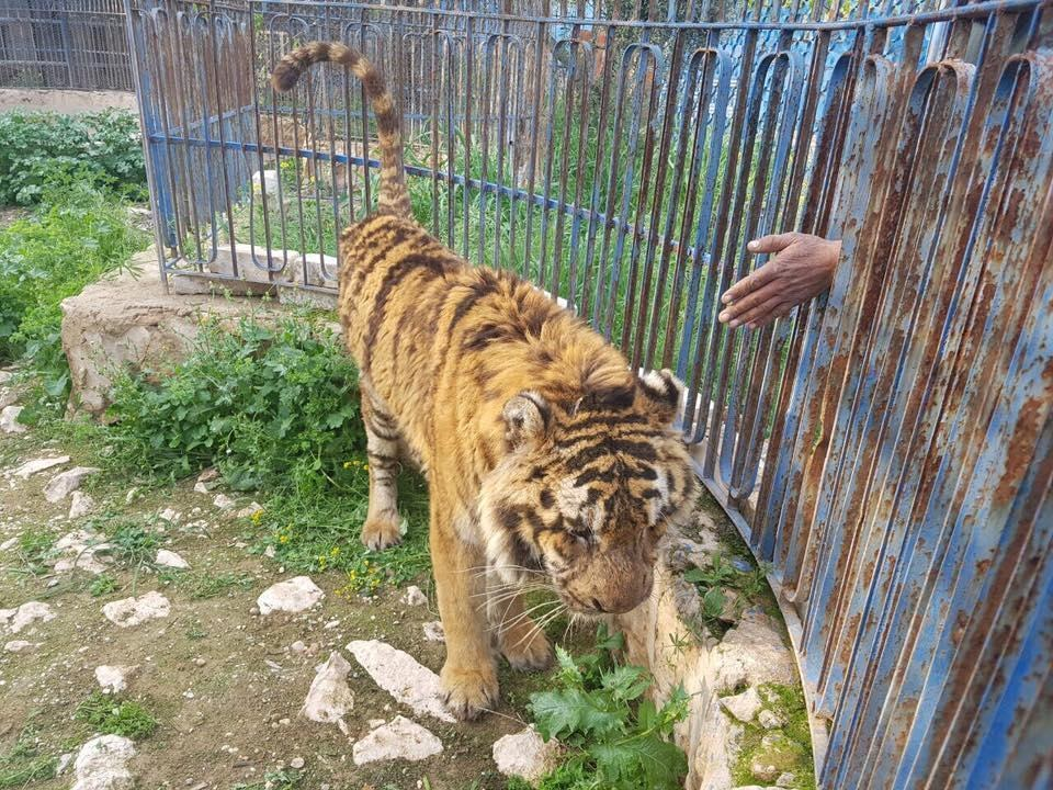 Man comes to help starving tiger in Aleppo zoo