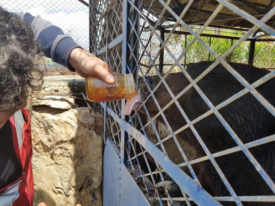 Man feeds honey to starving bear in Aleppo, Syria, zoo