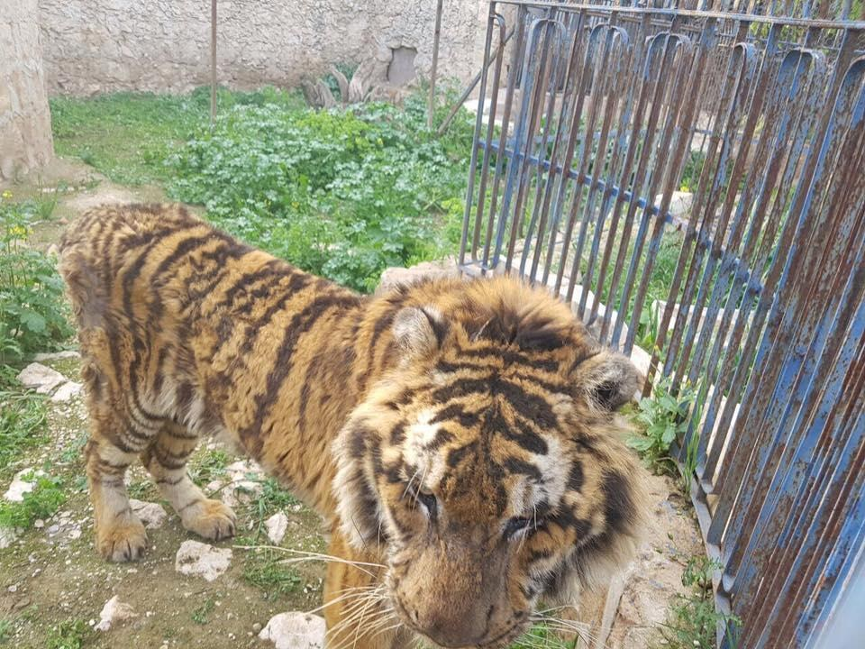 Starving tiger in Aleppo, Syria, zoo