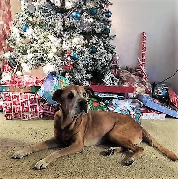 Senior shelter dog saved in time for Christmas