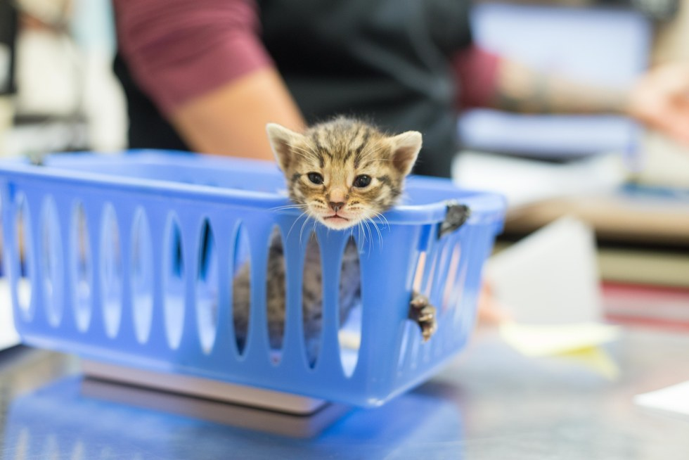A tiny kitten being weighed at the vet
