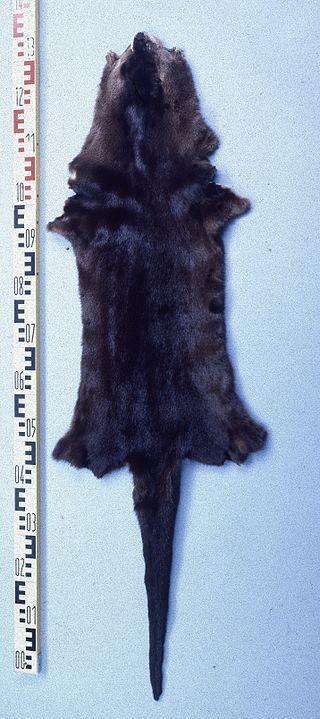river otter pelt