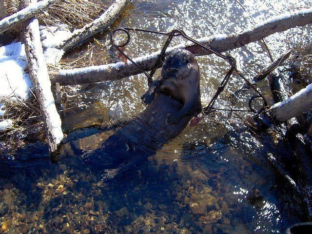 River otter caught in body-grip trap