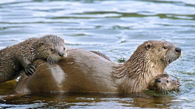 River otter family