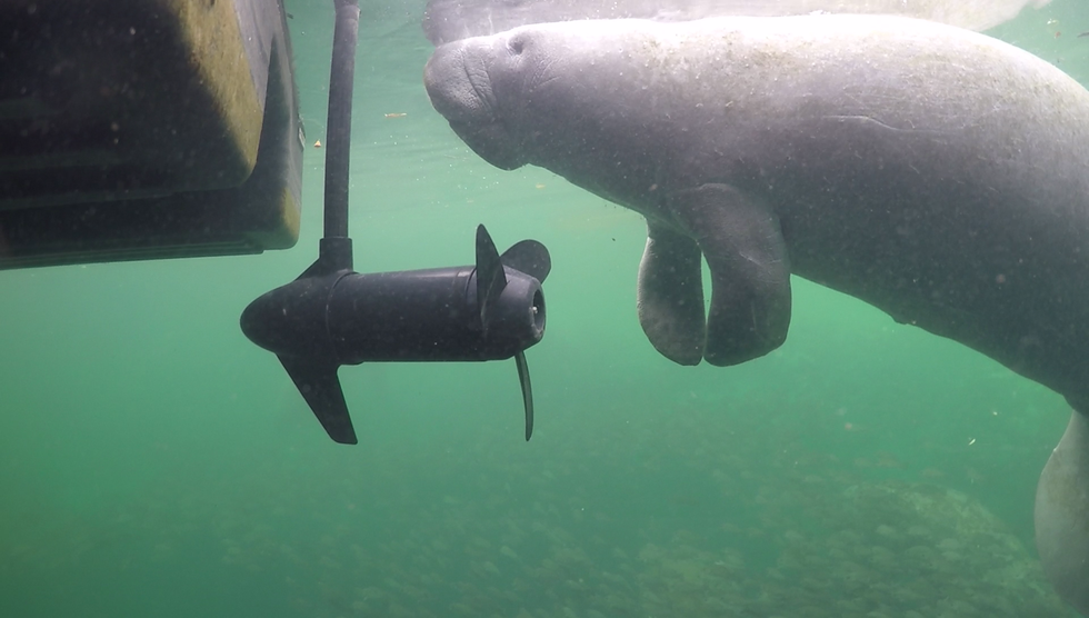 A Florida manatee swimming near a boat propeller