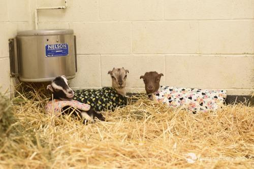 Recovering rescued baby goats in coats