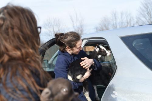 Baby goat arriving at Farm Sanctuary