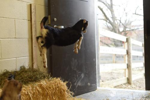 Baby goat bouncing at Farm Sanctuary