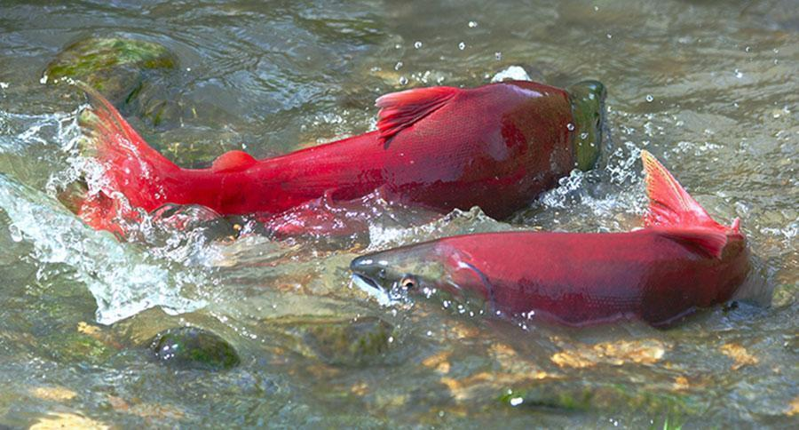 photo image 23 California Salmon Species Likely to Go Extinct Within 100 Years